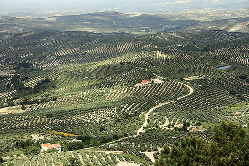 The olive oil in Spain